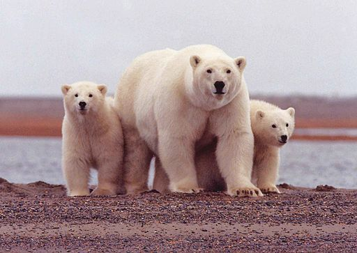 512px-polar_bear_female_with_young_cubs_ursus_maritimus